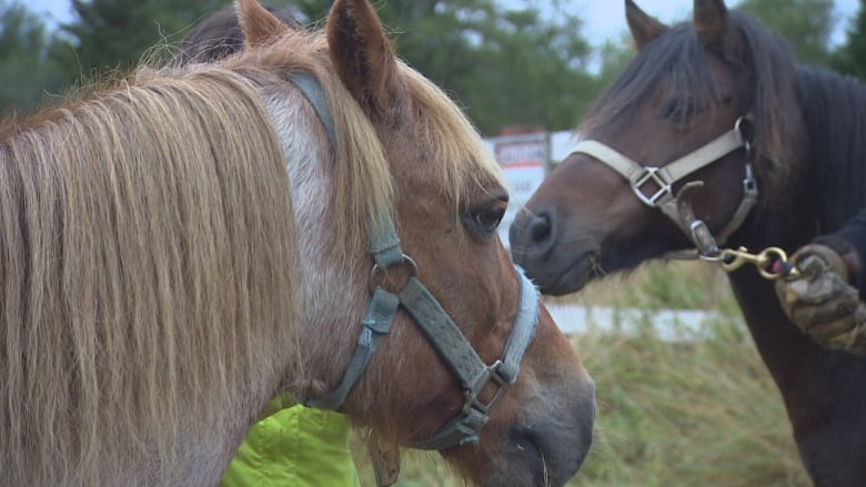 Newfoundland ponies get new home in sanctuary near Hopeall   CBC News