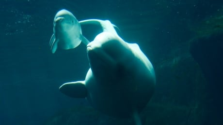 Vancouver Aquarium to return to court over city bylaw banning cetaceans