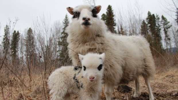 Northern B.C. farming community raises money for livestock affected by wildfires   CBC News