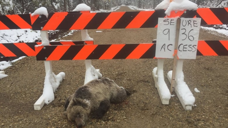 Wildlife officials investigate after dead grizzly bear found