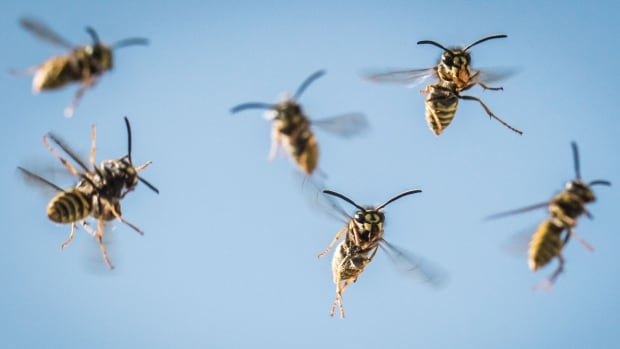 Why you're seeing more wasps in Calgary this spring (and how to deal with them)