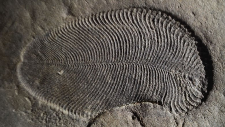 this is what the oldest confirmed animal fossil looks like cbc news