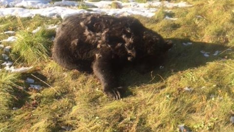 Second Grizzly Bear Found Shot South Of Grande Prairie Cbc News