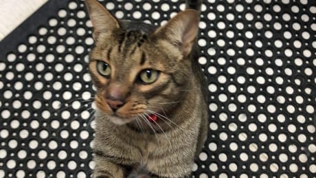 Where is Stitch? Cat lost, found, lost again on family move through B.C.