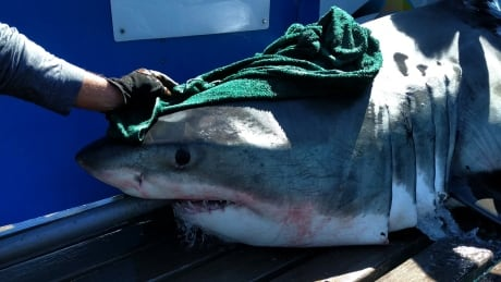 scientists hope these great whites will lead them to a mating site off nova scotia
