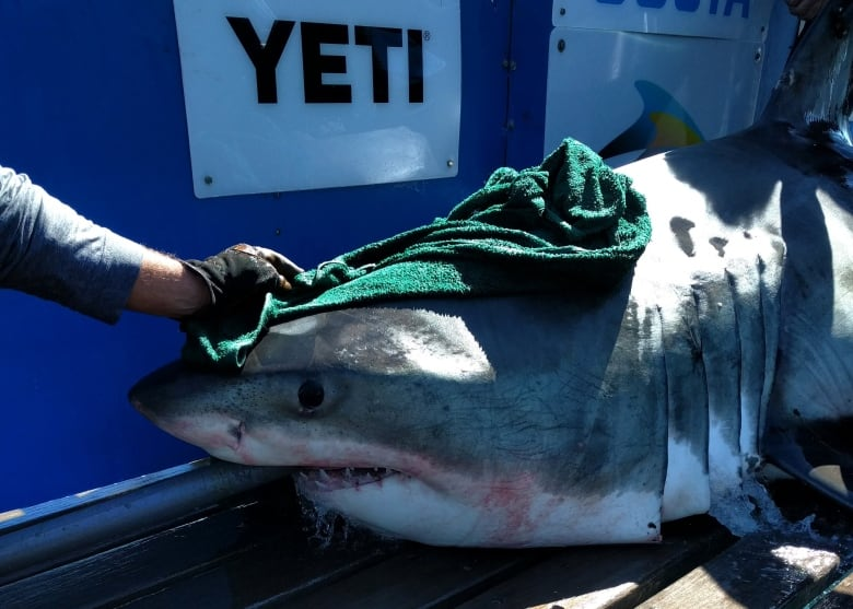 U S  shark researchers face stricter conditions to enter
