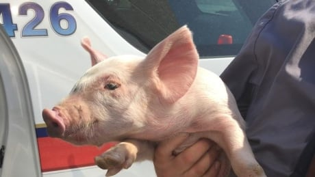 Police officer rescues this little piggy found hoofing down Toronto-area highway
