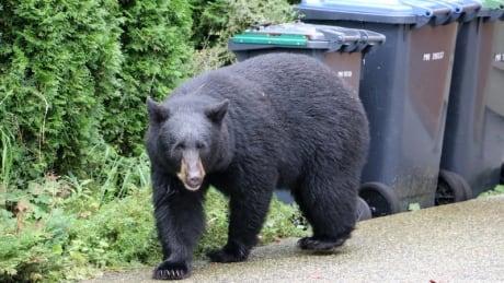 Black Bear in Port Moody