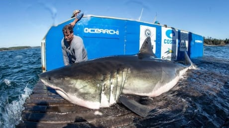 enormous breakthrough for great white shark expedition off nova scotia