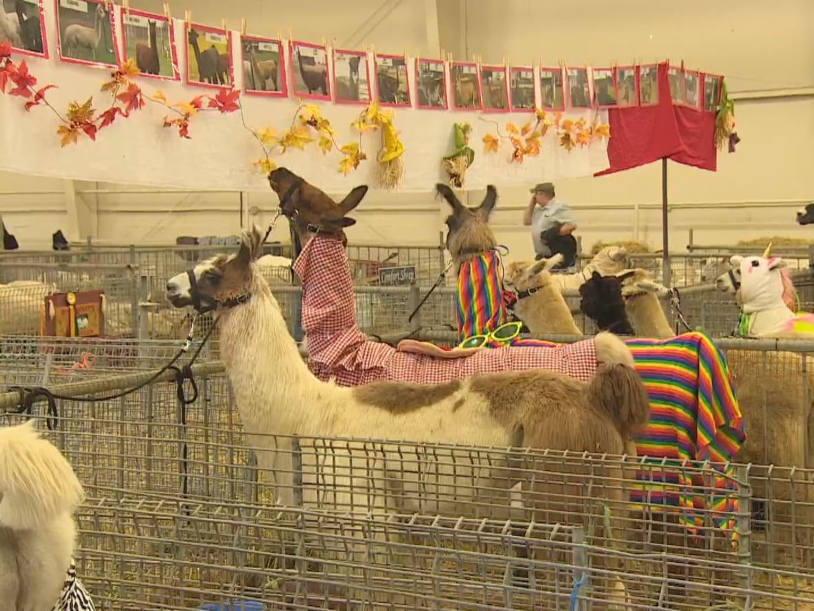 Llamas in costume compete for prize money at Norfolk County