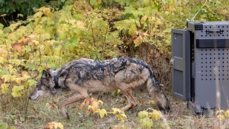 canadian wolves may be added to u s park service s work to revive island population