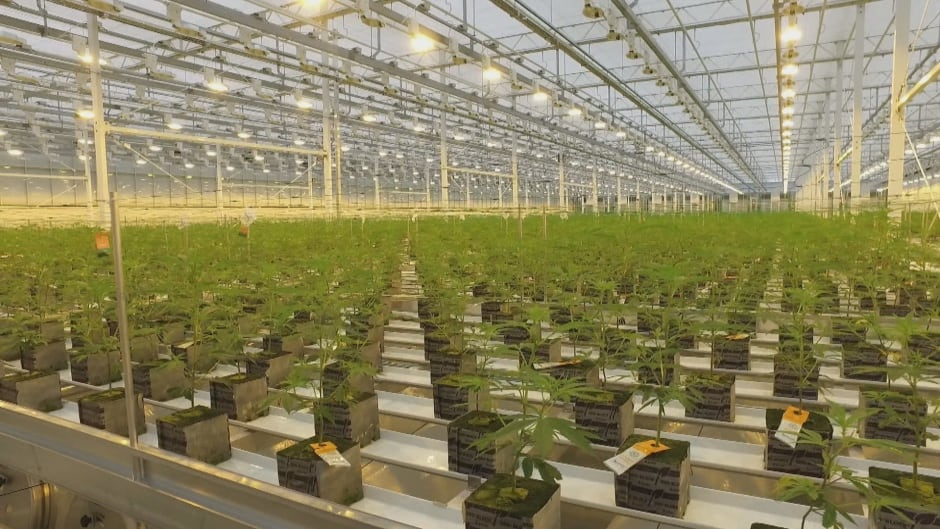 Aurora halts construction of two cannabis facilities to conserve cash