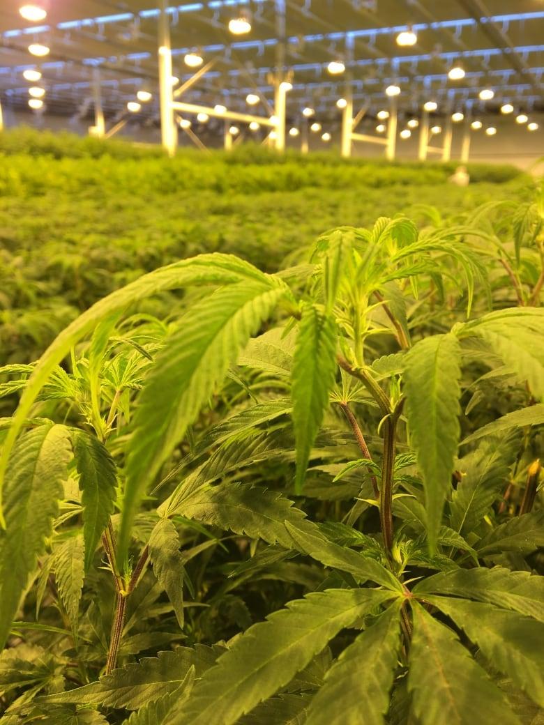 Aurora cannabis ipo filing