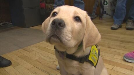 Service Dog Society Desperate To Fetch Volunteers To Train Puppies