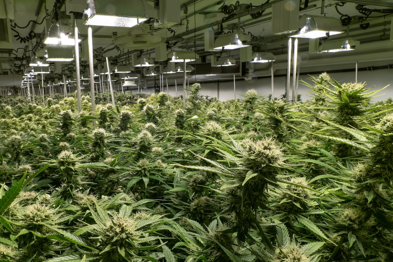 Cultivating cannabis: 5 tips on how to grow your own a bit