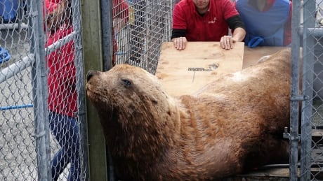 he s been suffering for quite some time rescued sea lion had gunshot wound in its head