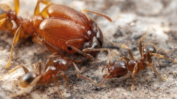 Montreal biologist resolves Darwin's unanswered question: Why do soldier ants grow so big?   CBC News