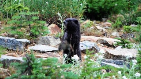 Vancouver Island's marmots survived extinction. Now, inbreeding is a concern