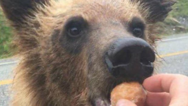 2 charged after they allegedly fed Timbits to bears along B.C.'s Alaska Highway | CBC News