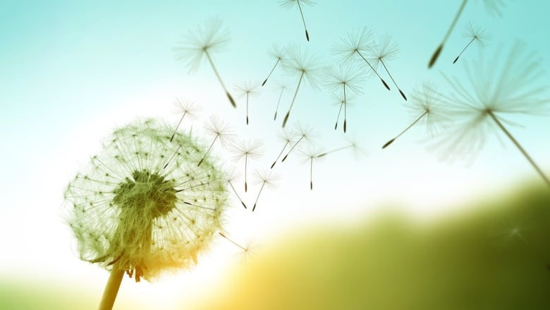 Dandelion Seeds Can Fly Up To 100 Km And Now We Know How Cbc News