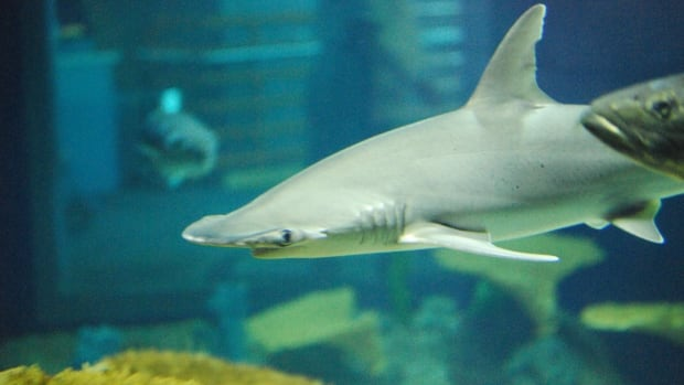 A meat eater chooses a side of seagrass — this shark's an omnivore
