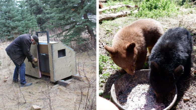 Rehabilitated black bears released in remote Alberta forest