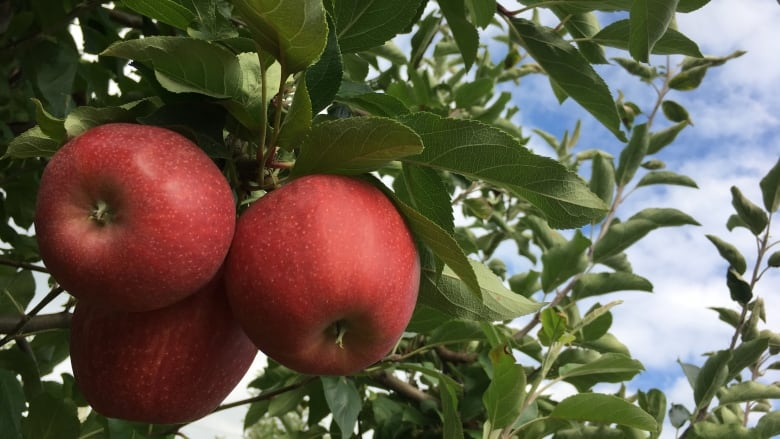 How to Grow Apples in the Southern U.S.