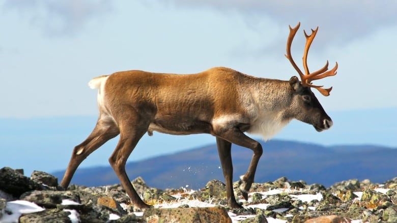 A Conservation Group Criticized Quebec Over Caribou So The Province Cut Ties With It Cbc News