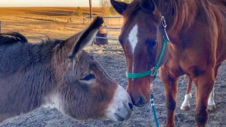depressed donkey now a happy hee hawer thanks to new friendship with horse