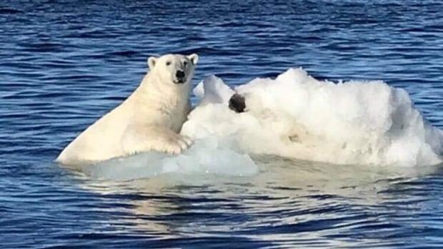 Warm weather, lack of ice likely factors in sluggish polar bear harvest: Nunatsiavut government | CBC News