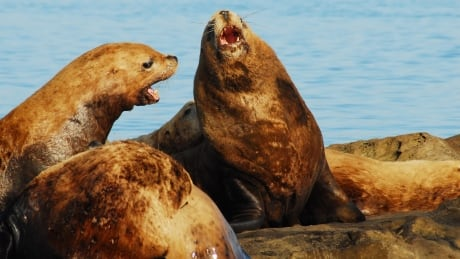 Hundreds of noisy, smelly sea lions fill Cowichan Bay — to the delight of many