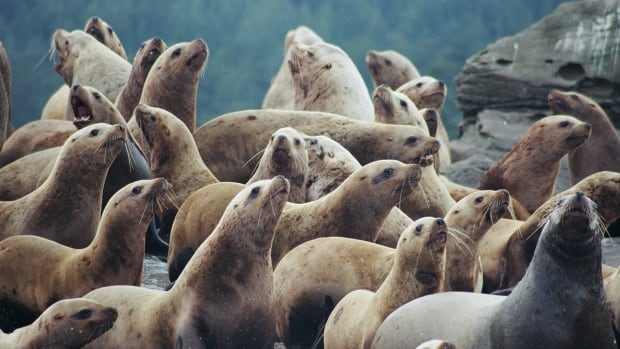 Loud, smelly and 'spellbinding' — hundreds of huge sea lions converge on Powell River