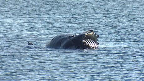 Dead humpback washes ashore in Tsawwassen