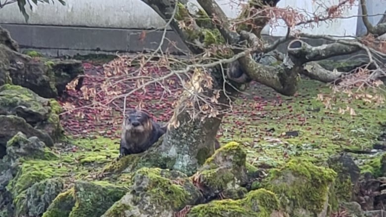 'He's a bit of a pirate obviously,' says biologist about koi-eating Vancouver otter
