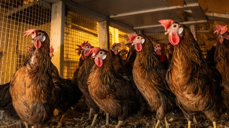 Heritage Poultry Cross-Breed Research