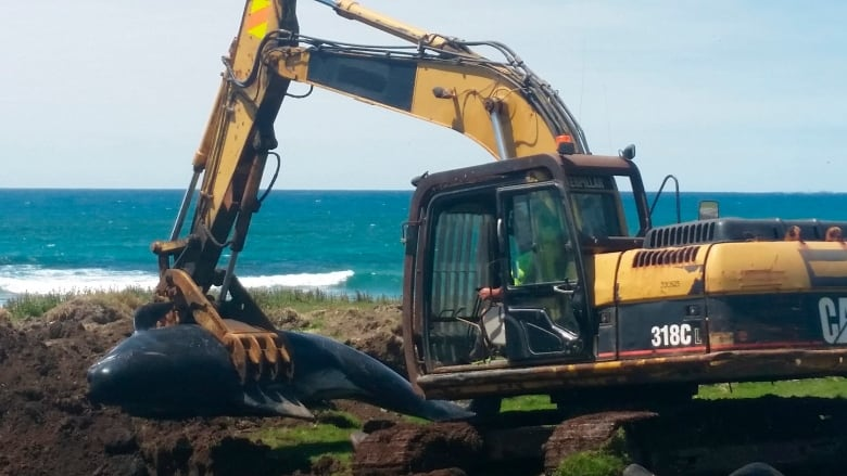 Over 50 whales dead in latest New Zealand stranding