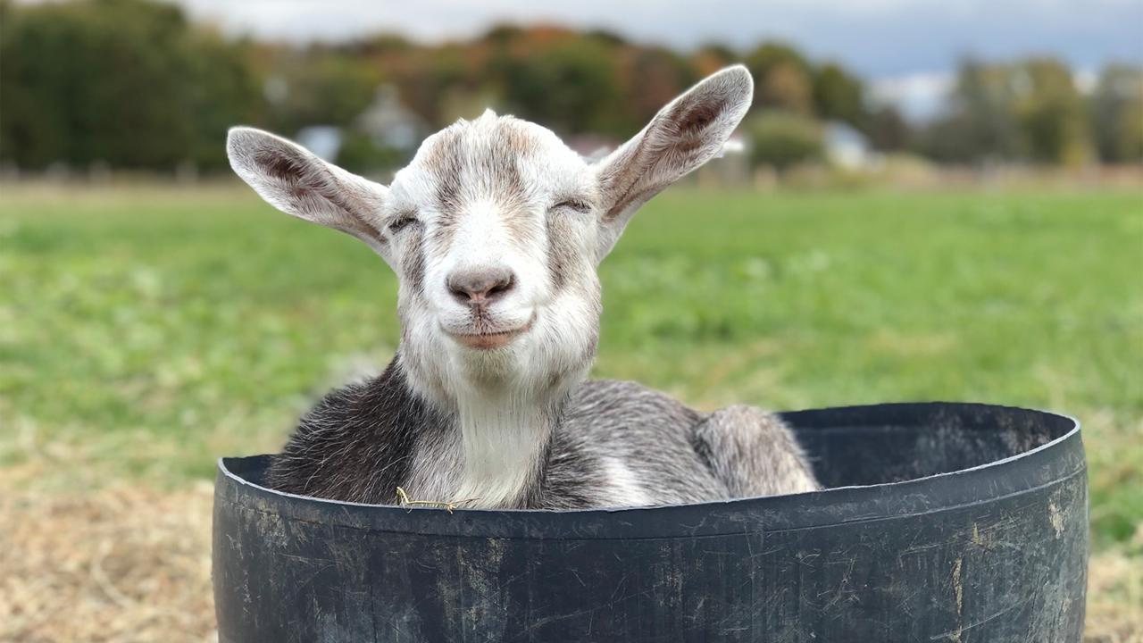 Step Inside Black Goat Farm And Sanctuary Where Rescued Animals Are Free To Be Their Adorable Friendly Selves Cbc Life