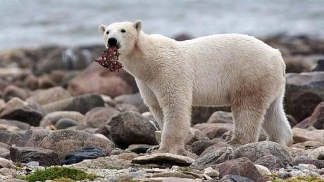 Polar Bear The National
