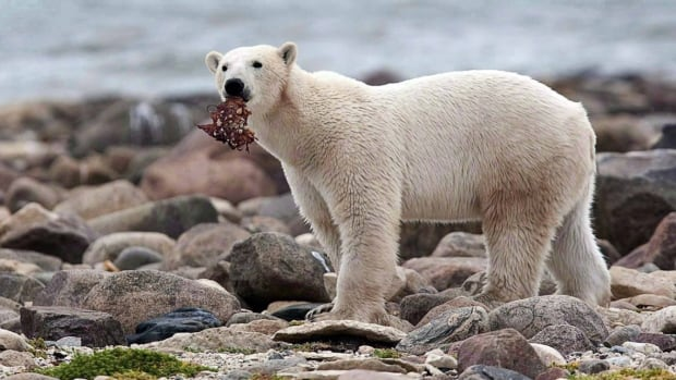 Another detail emerges on polar bear behaviour — some are hoarders - CBC.ca