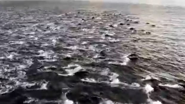 'Never seen anything like it': 200 dolphins spotted from ferry | CBC News