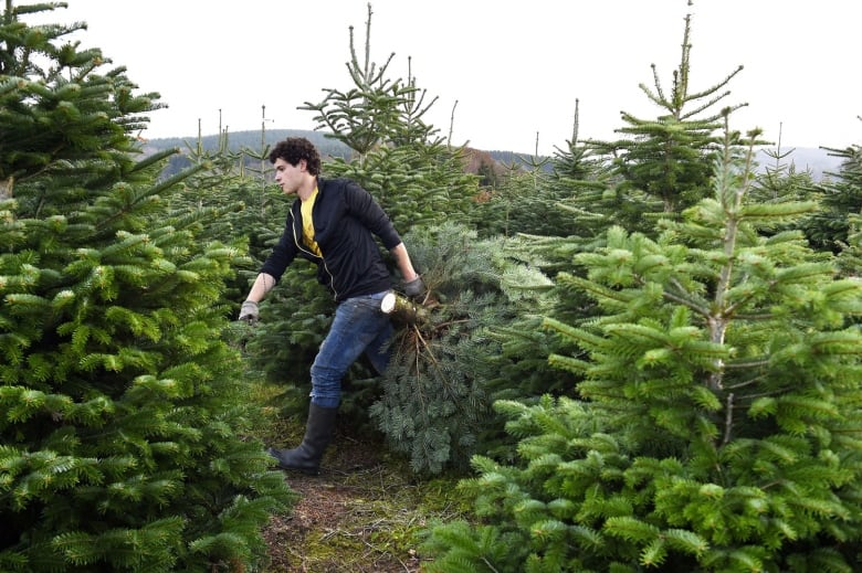 Real Vs Fake Christmas Tree Poll Results 2020 Real versus fake Christmas trees: Which one's greener? | CBC News