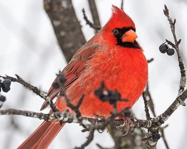 Christmas Bird.Like A Little Treasure Hunt Christmas Bird Count Marks 100