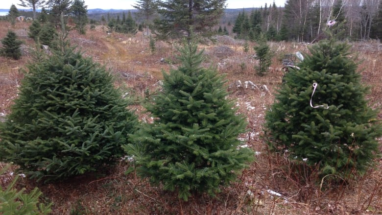 How Long Does It Take A Christmas Tree To Grow.When It Comes To Christmas Trees It S Au Natural Or Nothing