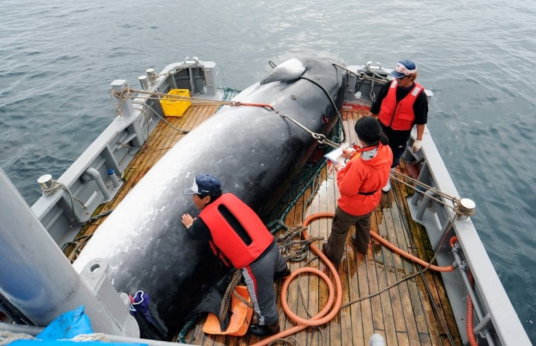 Japan to quit whaling treaty and return to commercial hunting in 2019
