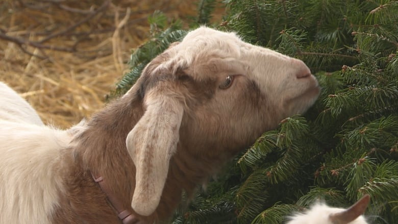 Christmas Goat.How A Used Christmas Tree Makes A Fine Gift For A Goat Cbc