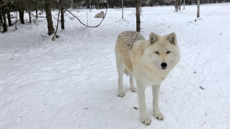 Quebec park lets visitors sleep in the heart of wolf territory