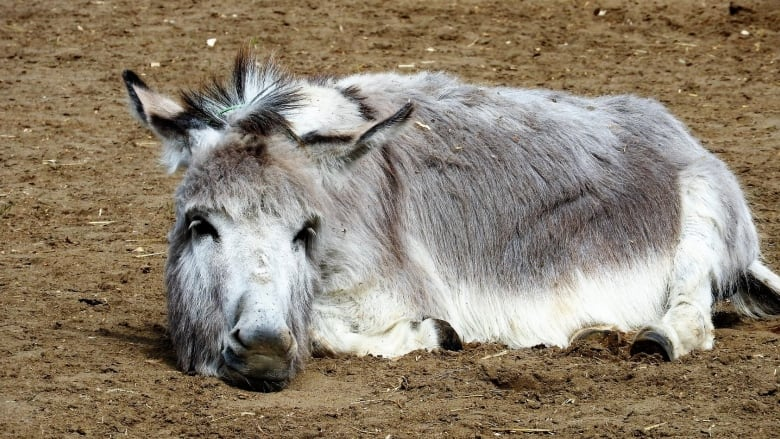 Donkey refuge says changing climate in B C  Interior making life