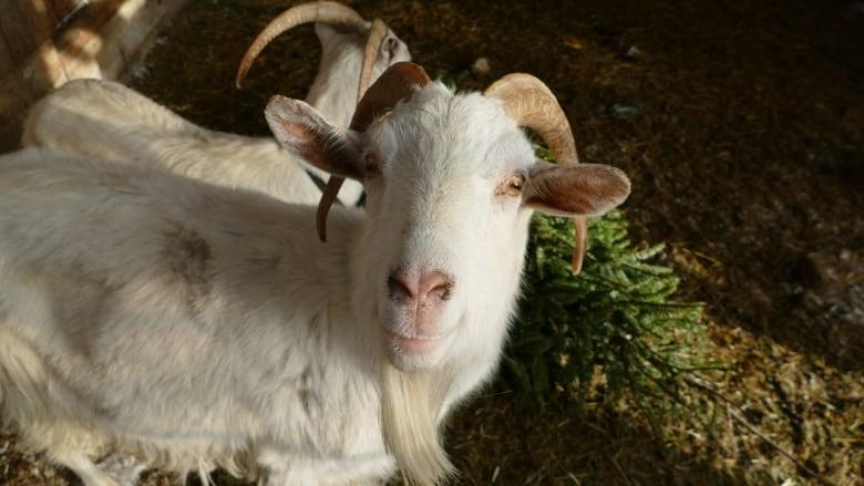 Christmas Goat.The Goats Of Christmas Past Ravenous Ruminants Make Short