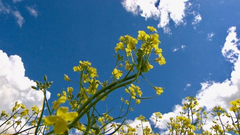 Canola, chemicals and bees: Why Canadian farmers are
