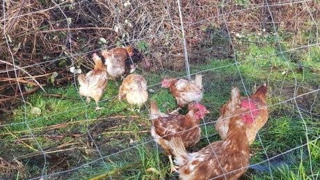 saanich-loose-chickens